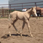 Colt by Wimpy Sparkles owned by Michelle Chapman